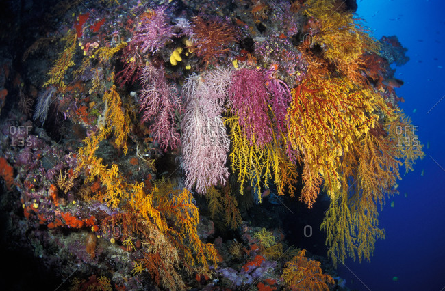 Soft corals hang like a rainbowed curtain