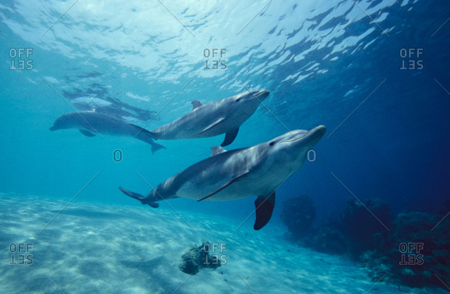 Bottlenose Dolphins are commonly sighted species found worldwide in tropical and temperate waters