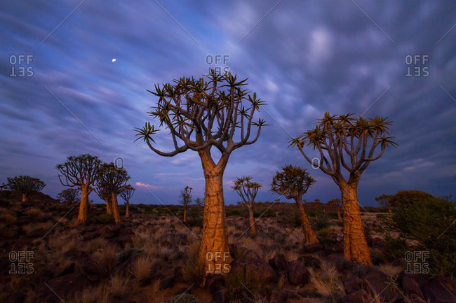 Quiver tree forest at twilight, Namibia