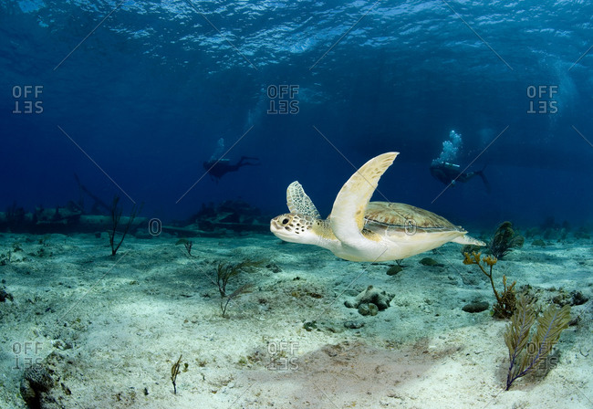 Green sea turtle (Chelonia mydas) swims lazily past the remains of the Sugar wreck, Bahama Islands