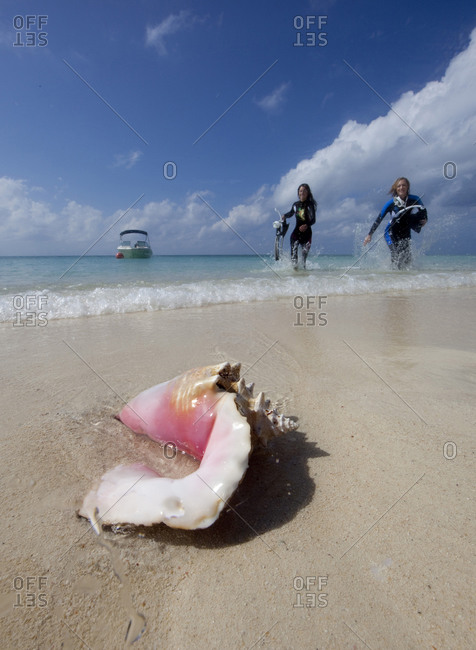 Queen conch (Strombus gigas) shell in shallow water; snorkelers frolic in the surf
