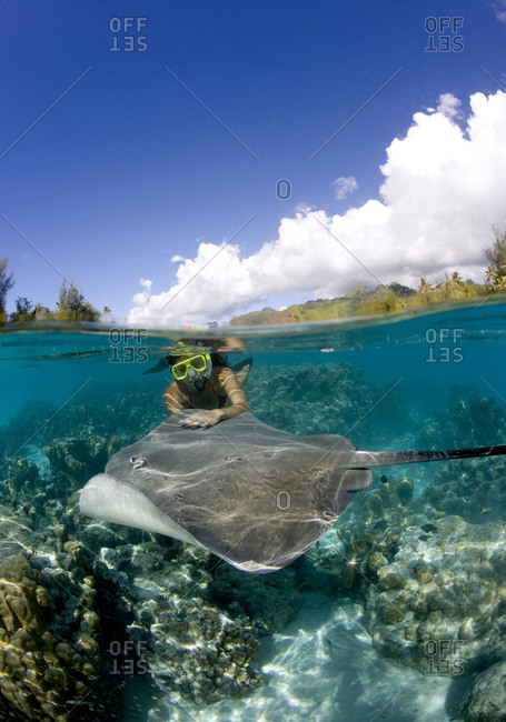 A snorkeler interacts with stingrays during a snorkel excursion near the island of Moorea  The Tahitian stingrays are known by the common name of Pink whipray (Himantura fai)   It is a common practice in Tahiti to allow ray-feeding activities for tourists