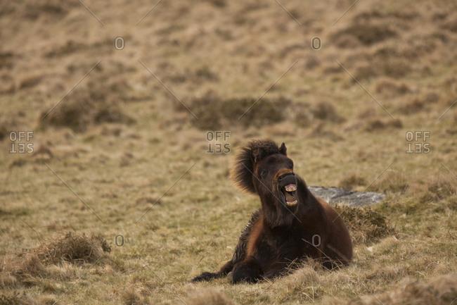 Dartmoor Pony yawning, Devon, England