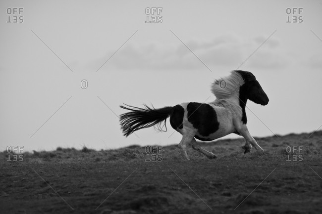 Dartmoor Pony running, Devon, England