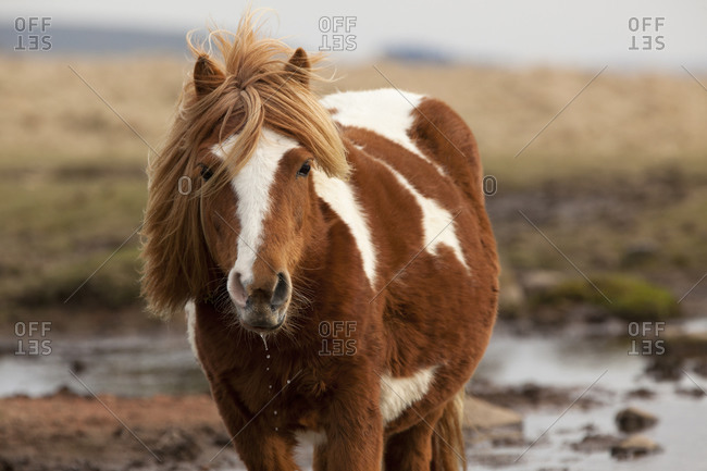 Dartmoor Pony, Devon, England