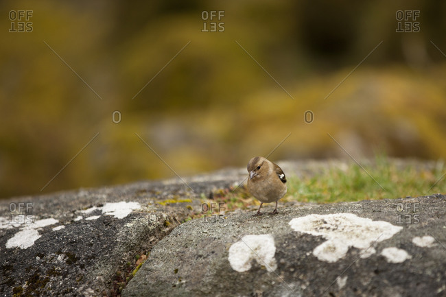 Male Chaffinch, Dartmoor, England