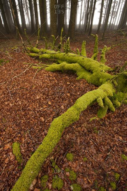 Misty woods, Dartmoor