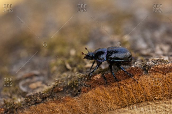 Violet Ground Beetle, Dartmoor, England