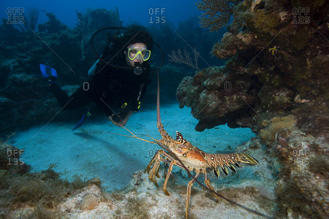 A spiny lobster intimidates a scuba diver by waving its' antennae in a threatening manner