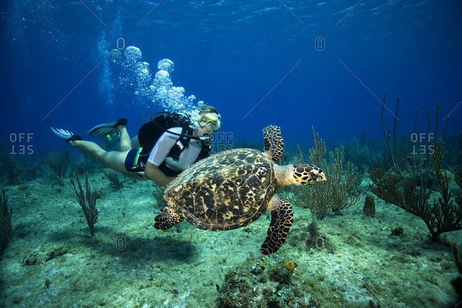 A female scuba diver watches a Hawksbill turtle sim lazily above a reef in the Cayman Islands