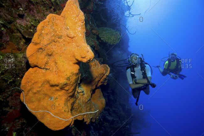 Scuba divers pause to investigate a large Orange elephant ear sponge