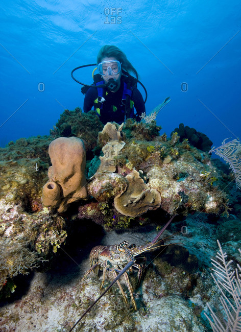 A female diver encounters spiny lobster