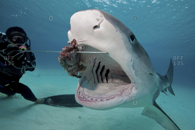Tiger shark  swallows bait during staged shark feeding dive