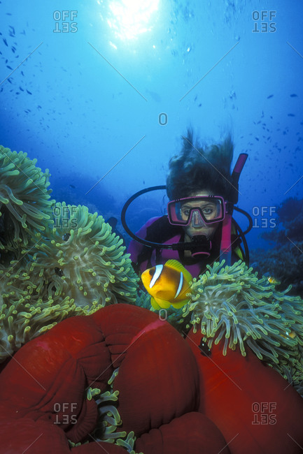Diver watches a Red Sea anemonefish hovering over a colorful magnificent sea anemone
