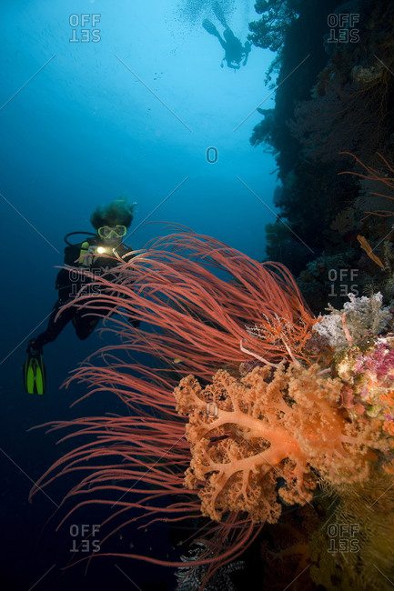 A female scuba diver illuminates a colorful display of red sea whips and pastel-colored soft corals, Wakatobi Resort