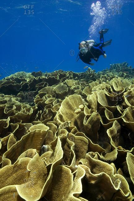 Female scuba diver swims over a field of Cabbage, or Lettuce coral, Fiji