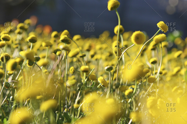 Close-up of yellow flowers in a meadow