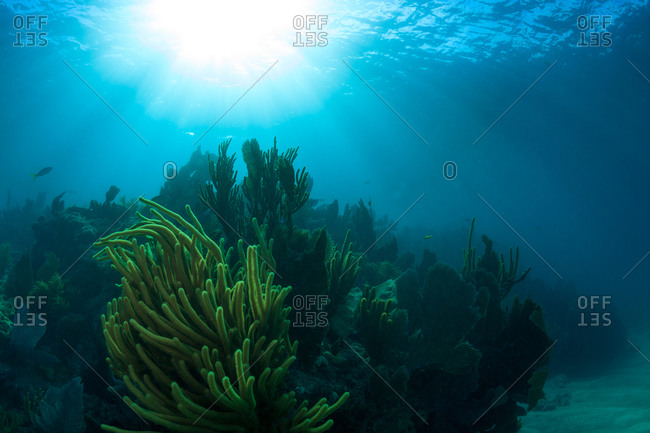 Sunlit soft corals growing off of the Florida Keys