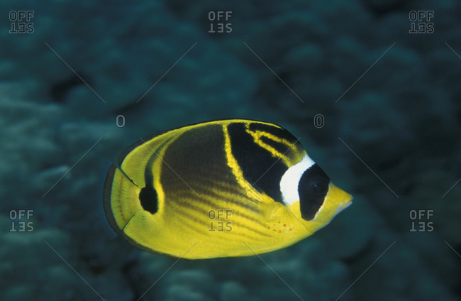 Raccoon Butterflyfish, a widespread tropical species common throughout Indo-Pacific oceans