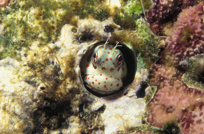 Red-spotted Blenny Clownish face peeking out of worm hole in the shallows of the coral reef ecosystem
