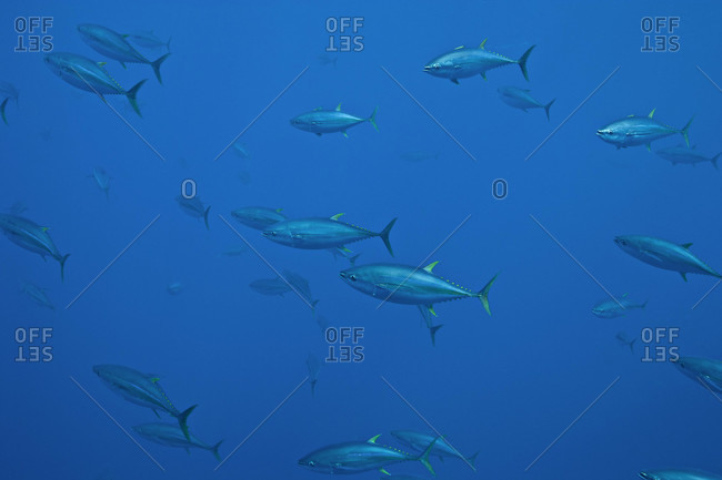 Yellowfin Tuna swimming in the open ocean