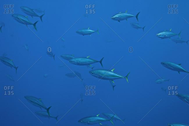 Yellowfin Tuna swimming in the open ocean