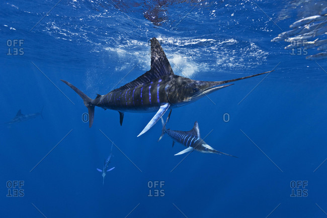 A group of Striped Marlin predation on Pacific Sardines offshore Baja, Mexico, Pacific Ocean