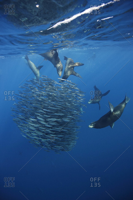 A group of California Sea Lions feeding on Pacific Sardines offshore Baja, Mexico in the ...