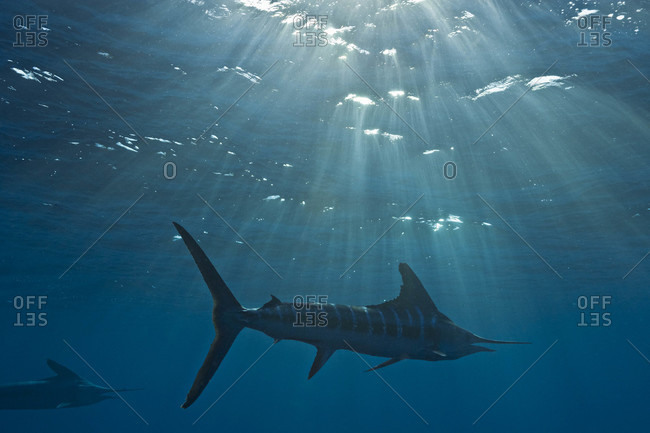 Striped Marlin swimming away as late afternoon sun beams pierce the ocean surface