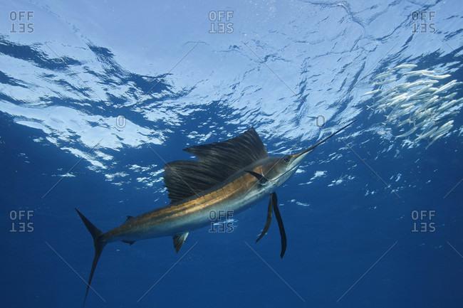 Atlantic Sailfish feeding on Spanish sardines in the Gulf of Mexico