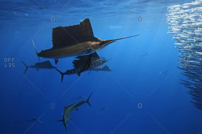 Group of Atlantic Sailfish feeding on small baitfish such as sardines