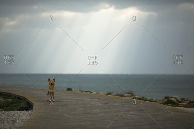 Staring dog. Peniche, Portugal