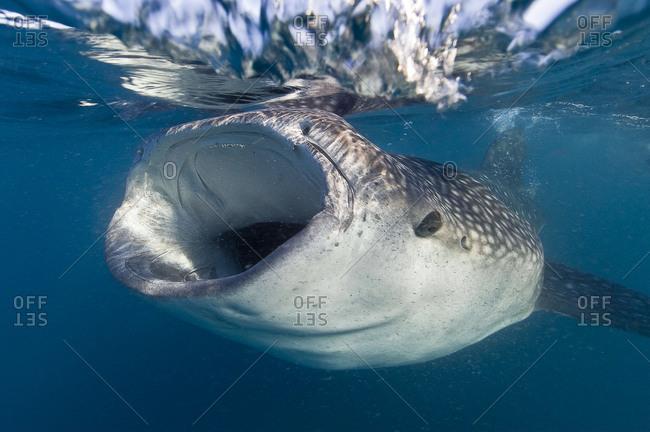 Whale shark feeding at the surface.