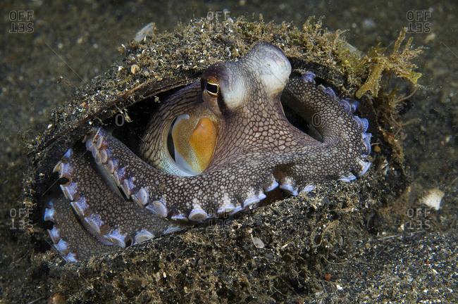An octopus (Octopus marginatus) inhabiting a discarded shell on the sea floor.