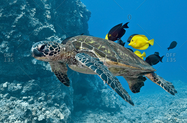 Green turtle being attended to by several surgeonfish.  All animals benefit from the cleaning behavior exhibited in this photograph