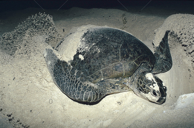 Female turtle digging nest on beach in order to lay eggs.