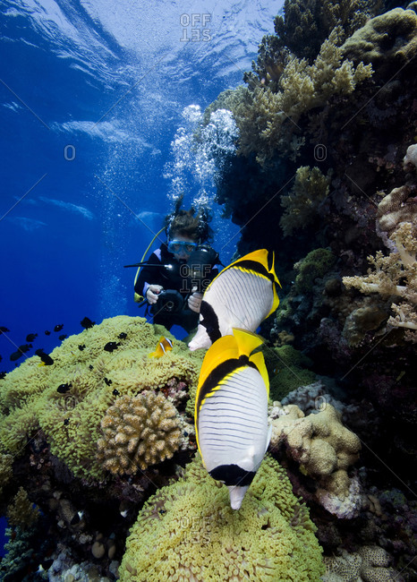 A pair of Lined butterflyfish (Chaetodon lineolatus) occupy the foreground while an underwater photographer takes pictures of Three-spot damselfish (Dascyllus trimaculatus) and a Red Sea anemonefish (Amphiprion bicinctus)