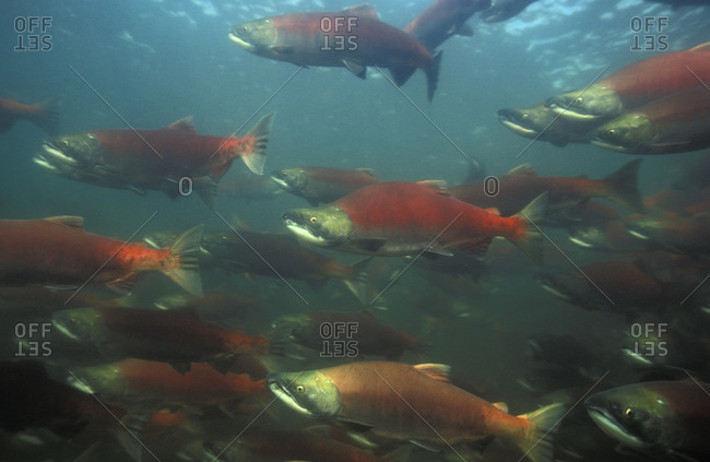 Sockeye Salmon (Oncorhynchus nerka), school of red salmon swimming upriver to spawn