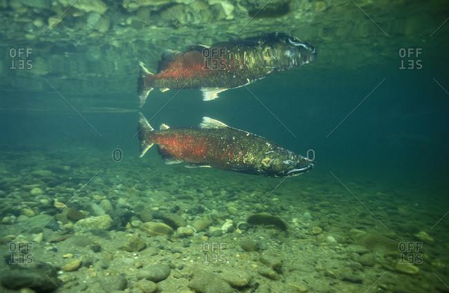 Chinook Salmon (Oncorhynchus tshawytscha), adult male swimming upstream to spawn