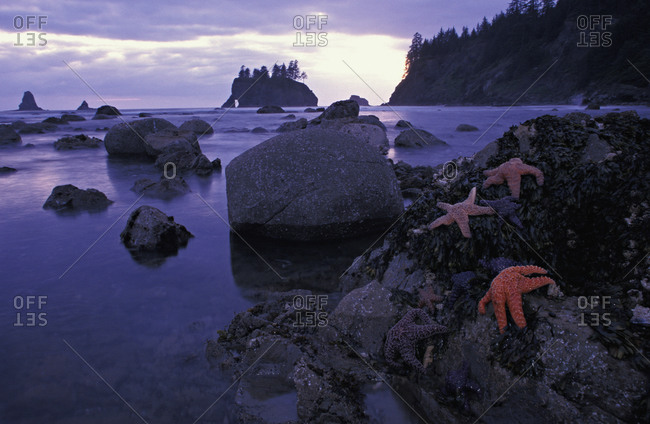 Ochre Sea Stars (Pisaster ochraceus) exposed at low tide Point of Arches, Washington, USA, Pacific Ocean