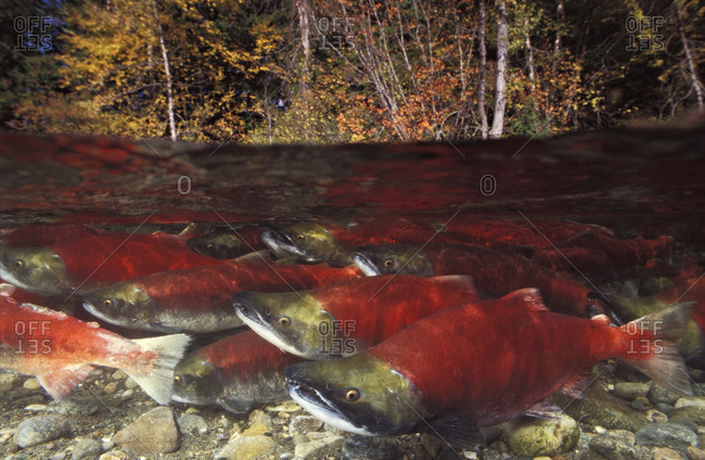school of Sockeye Salmon (Oncorhynchus nerka) during their epic migration, moving upriver to where they were born in order to spawn