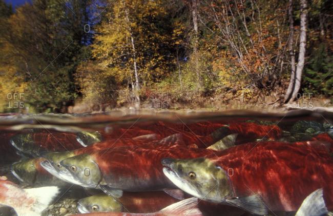 Split view of school of Sockeye Salmon (Oncorhynchus nerka) in a river preparing to spawn