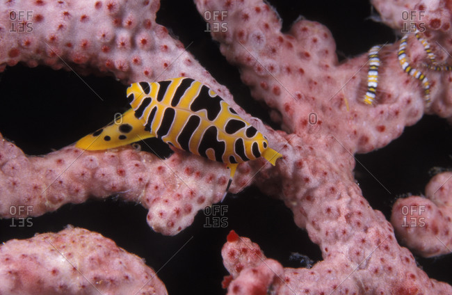 Tiger Egg Cowrie (Cuspivolva tigris), 1cm long, on gorgonian sea fan