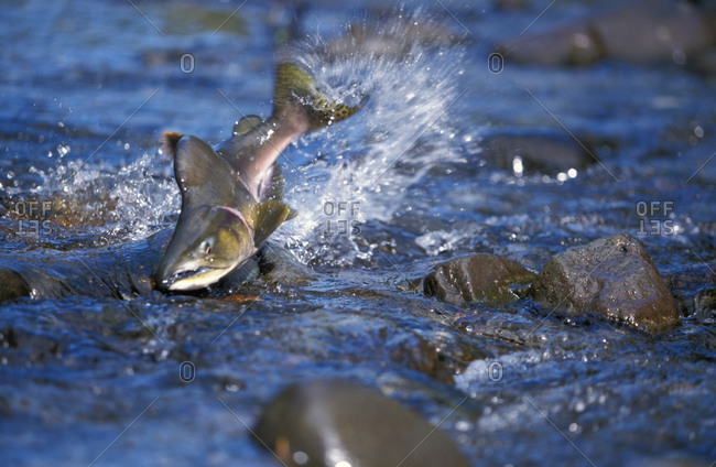 Pink Salmon (Oncorhynchus gorbuscha), male humpbacked salmon fights its way up shallow stream to spawning beds