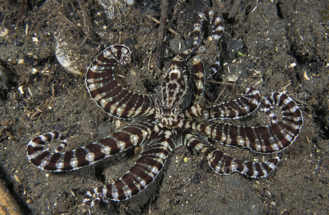 A Mimic Octopus (Thaumoctopus mimicus) flaring banded tentacles