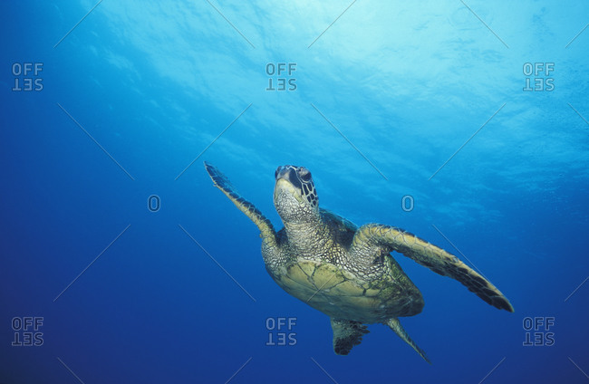 A Green Sea Turtle (Chelonia mydas), widespread endangered species of marine reptile