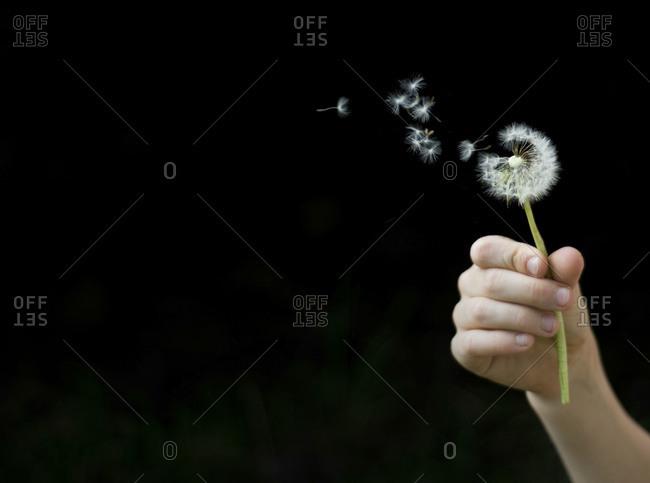 Hand of little child holding dandelion