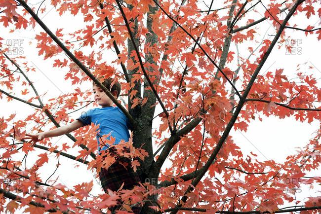 A boy climbs high up a tree