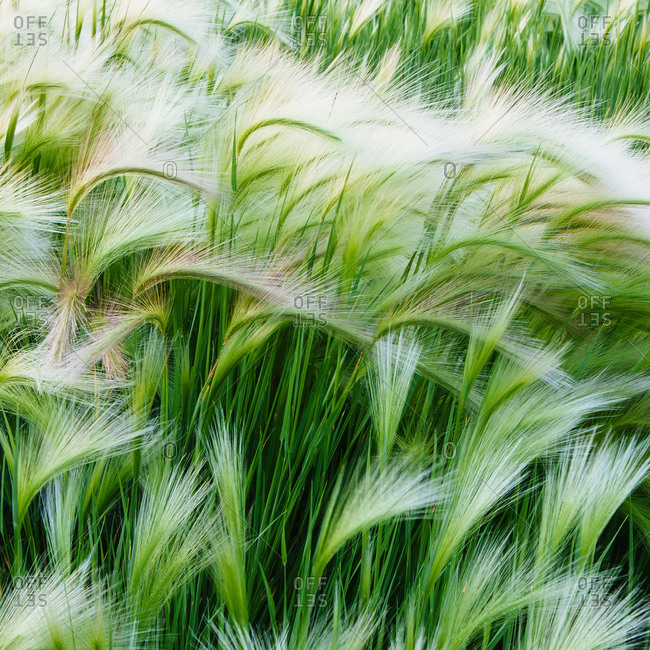 Green grasses blowing in the wind