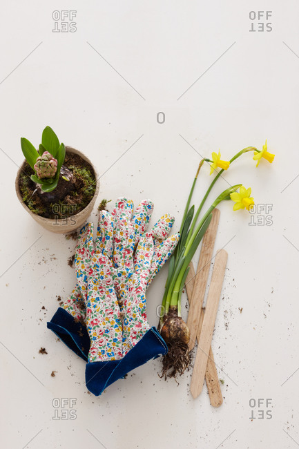 Close-up of narcissus and hyacinth with gloves